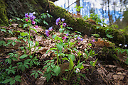 """Unspotted lungwort or Suffolk lungwort (Pulmonaria obscura) - one of many blooming spring flowers in undergrowth of broadleaved forest on slopes of river Ruņa, nature reserve """"Ruņupes ieleja"""" (dabas liegums """"Ruņupes ieleja""""), Kurzeme, Latvia Ⓒ Davis Ulands 