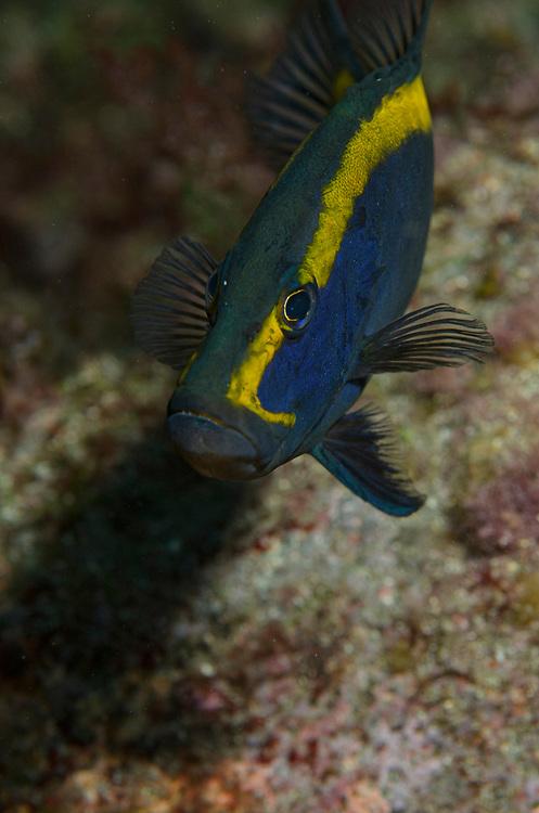 Kermadec, Kermadec Islands, Rangitāhua, New Zealand, remote, diving, rare, nz, goldribbon, grouper, groper, soapfish, Aulacocephalus, temminckii,