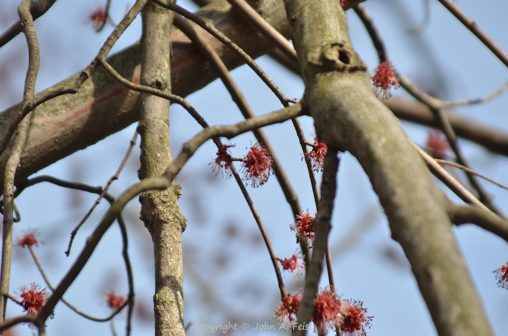 Early spring buds on a tree.  D and R Canal, Hillsborough, NJ