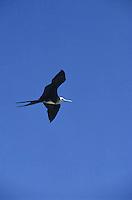 Gaviota volando