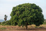Mango tree (Mangifera indica)<br /> Saddle Mountain Ranch<br /> Savanna <br /> Rupununi<br /> GUYANA<br /> South America,<br /> cattle