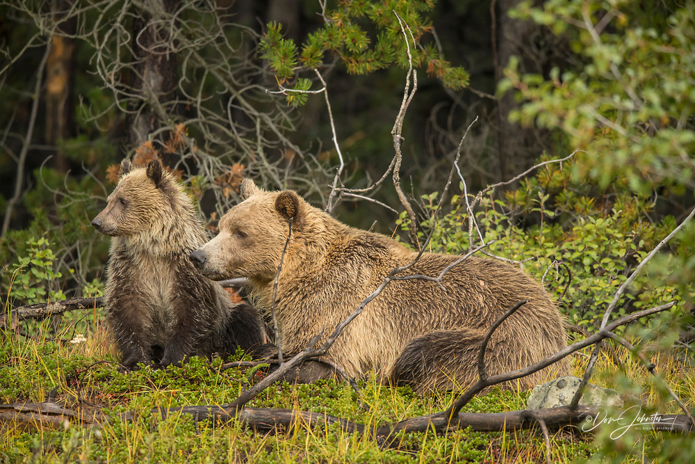 Grizzly bear (Ursus arctos)- Mother and first year cub resting on riverbank from hunting for spawning sockeye salmon, Chilcotin Wilderness, BC Interior, Canada, Chilcotin Wilderness, BC Interior, Canada