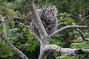 Brazilian porcupine, (Coendou prehensilis) on a tree Photographed in Pampas, Bolivia