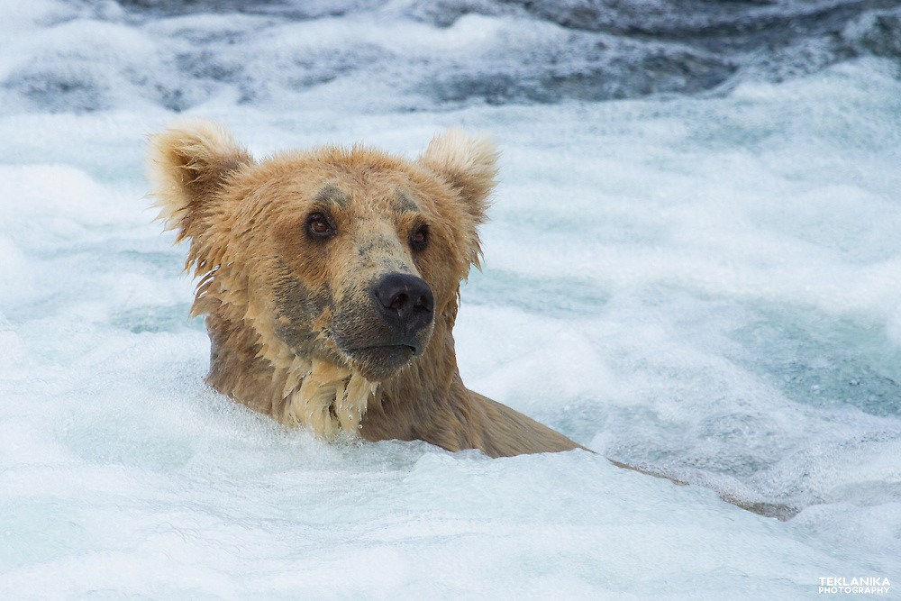 A brown bear fishes for salmon in Alaska's Brooks River.