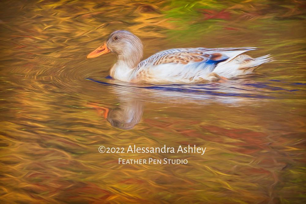 Snowy mallard swimming in pond amid autumn foliage reflections.  Painted effects blended with original photograph.
