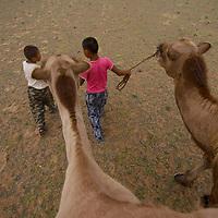 Children lead bactrian camels in Mongolia's Gobi Desert.