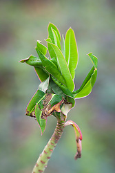 Damage caused by Carnation tortrix moth. Euphorbia mellifera