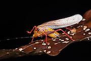 Orange Rainbow Katydid (Vestria sp.)<br /> Yasuni National Park, Amazon Rainforest<br /> ECUADOR. South America<br /> HABITAT & RANGE: