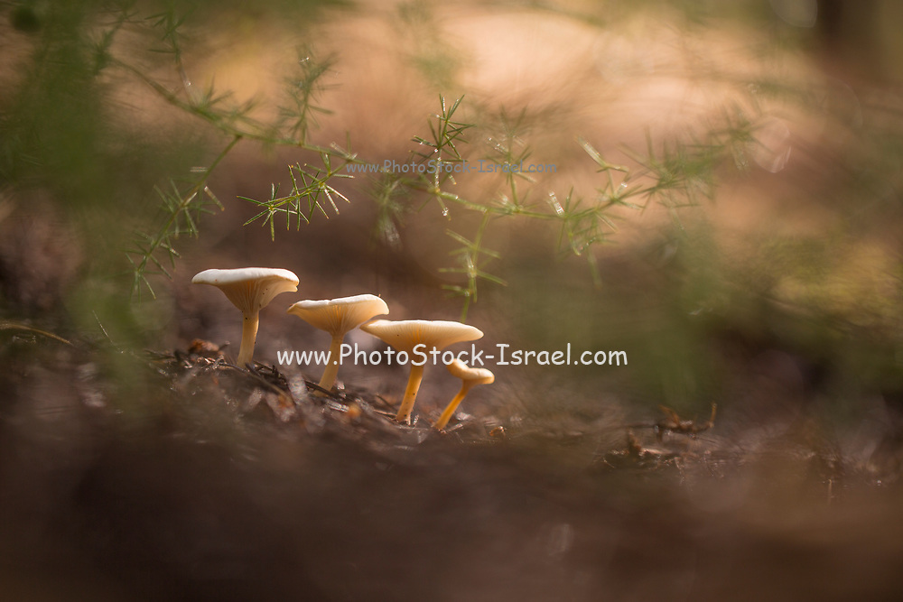 Clitocybe diatreta mushrooms growing in a pine forest Photographed at the Ein Afek nature reserve, Israel in January