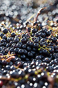 Ripe black grapes harvested at St Emilion, Bordeaux, Francee