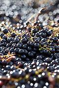 Ripe black grapes harvested at St Emilion, Bordeaux, Francee