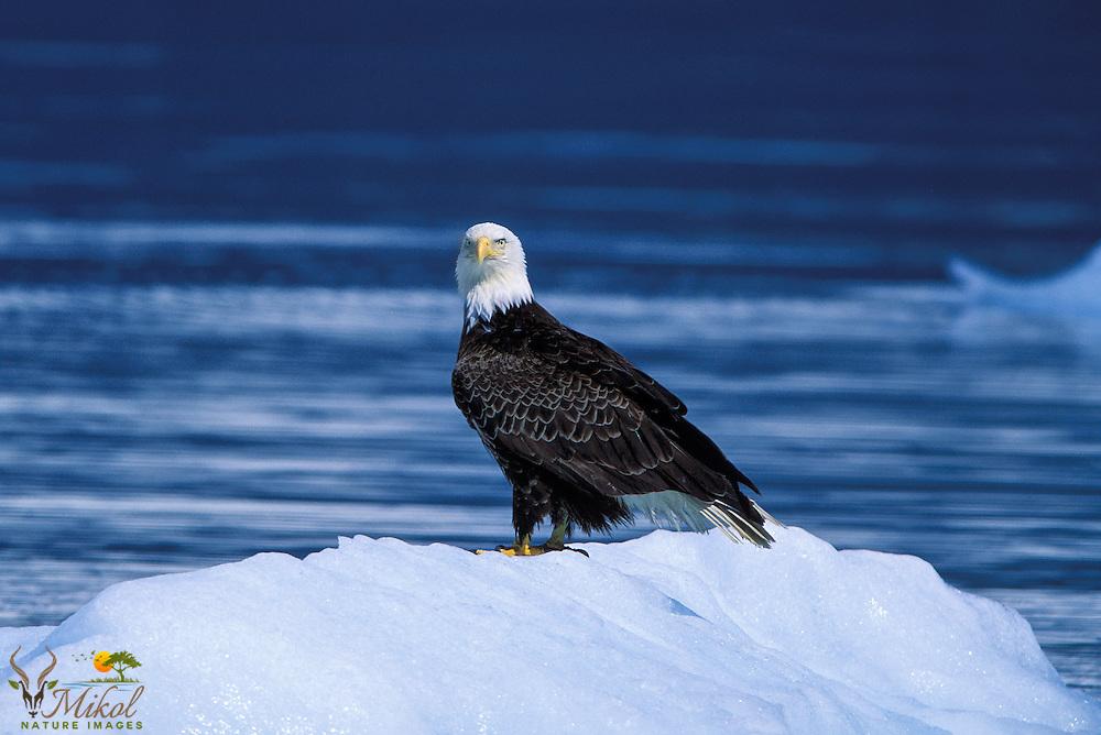 Bald eagle on glacier iceberg