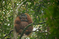 "Bornean Orangutan - ""wurmbii"" subspecies<br />(Pongo pygmaeus wurmbii)<br /><br />Adult male ""Codet"" sitting out heavy rain with leaf ""umbrella""<br /><br />Cabang Panti Research Station<br />Gunung Palung National Park<br />West Kalimantan, Indonesia<br />Borneo Island"