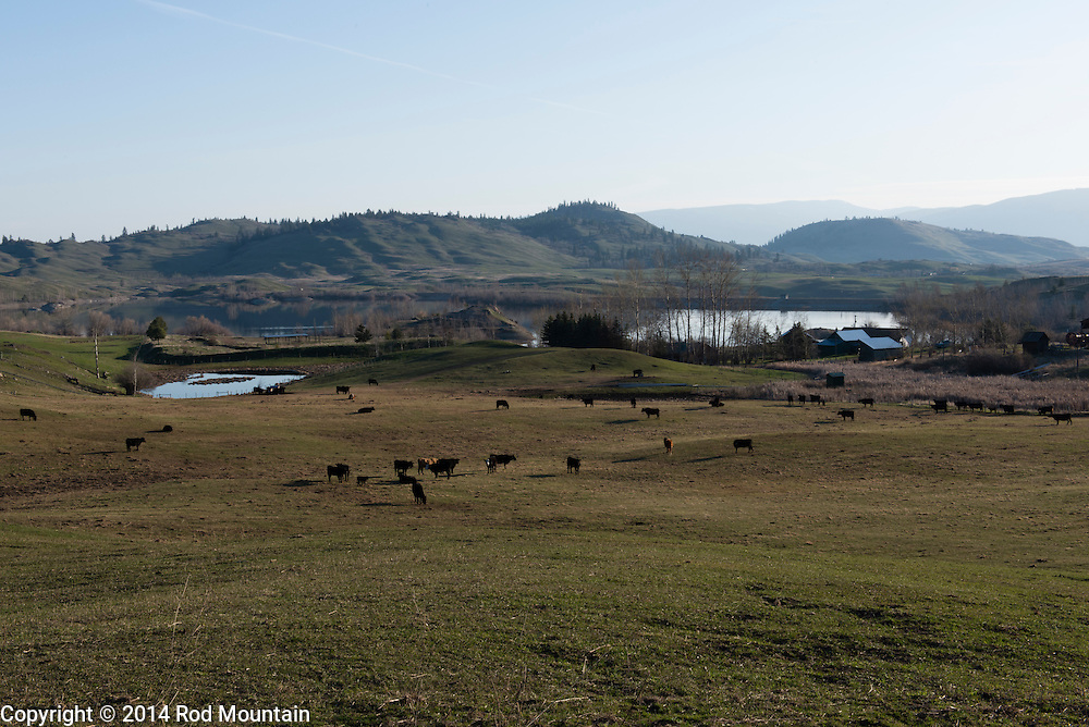 Not far from Predator Ridge Golf Course, a family farm is home to a modest herd of cows.