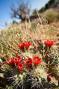 View of flowers in Klondike Bluffs at Canyonlands National Park near Moab, Utah.
