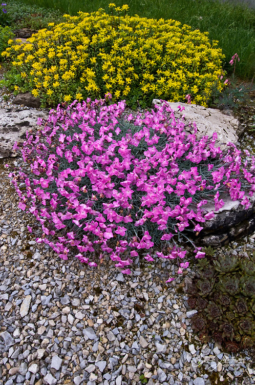 Alpine garden with flowering Dianthus and Sedum with limestone rocks, Lively, Ontario, Canada