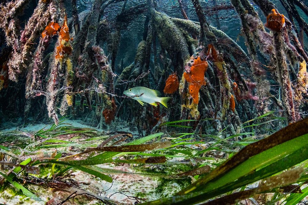 Schoolmaster snapper (Lutjanus apodus) in red mangrove (Rhizophora mangle) and turtlegrass (thalassia testudinum) habitats. Image made on Eleuthera Island, Bahamas.