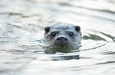 Town Otters