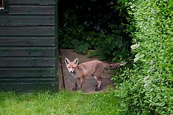 Red fox cub (vulpes vulpes) in a city garden, Bearwood, Birmingham, England, UK.
