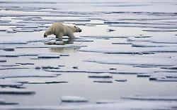 Polar Bear (Ursus maritimus) living on thin ice in Spitsbergen, Svalbard