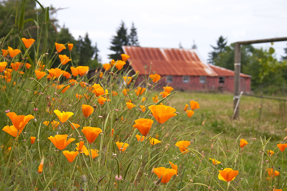 Field of poppies, rusted barn in background, Beaufort Winery, Courtenay Vancouver Island