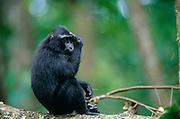 The Celebes Crested Macaque removes a leaf from his head. | Der Schopfmakake entfernt ein Blatt aus seinem Fell.