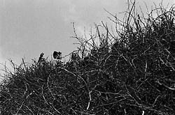 Alcuni operai impegnati nella costruzione della FÚcara, intravisti attraverso i tralci di vite destinati a bruciare.  La FÚcara, la cui costruzione inizia la mattina del 7 gennaio, Ë dedicata a Sant'Antonio Abate ed Ë costituita da un falÚ realizzato con fascine di tralci di vite (sarmente) recuperate dalla rimonta dei vigneti. Sulla cima della fÚcara, la mattina della Vigilia, viene issata un'artistica bandiera sulla quale Ë l'immagine del Santo. L'accensione della FÚcara avviene attraverso una batteria-fiaccolata. Una volta accesa, la FÚcara arde tutta la notte dando vita al fenomeno detto delle fasciddre, le faville che, nell'aria, somigliano ad una pioggia di fuoco. (fonte http://www.comune.novoli.le.it/focara/storia_focara.php).