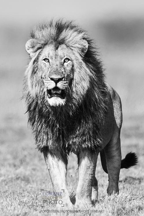 Männchen und Weibchen des Busanga Prides (Panthera leo) in der Busanga Plain im Kafue Nationalpark in Sambia beim Übergang zwischen Trockenzeit und Regenzeit. Der Löwe (Panthera leo, veraltet/poetisch Leu) ist eine Art der Katzen. Er lebt im Unterschied zu anderen Katzen in Rudeln, ist durch die Mähne des Männchens gekennzeichnet und ist heute in Afrika sowie im indischen Bundesstaat Gujarat beheimatet.