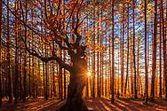 Beautiful autumnal deciduous tree in coniferous forest