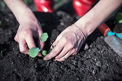 Woman planting a plant in field, Bavaria, Germany