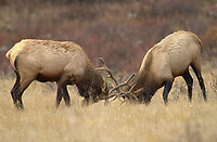 Two bull Elk (Cervus elaphus) - also known as Wapati - during the rutm,Banff National Park, Alberta, Canada, Bow Valley Parkway   Photo: Peter Llewellyn