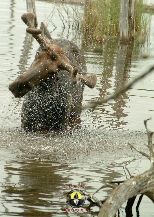 A bull moose shakes the black flies out of his eyes and ears while taking a drink in a pond near Maine's tallest mountain, Mt. Katahdin.