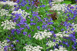 Melanoselinum decipiens (black parsley) with Anchusa 'Loddon Royalist' on the Hardy's Cottage Garden Plants stand at the RHS Chelsea Flower Show 2015