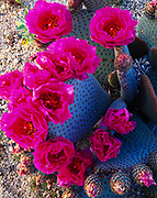 Blooming beavertail cactus, Opuntia basilaris, Cottonwood Mountains, Joshua Tree National Park, California.