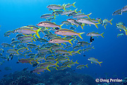 yellowfin goatfish, Mulloidichthys vanicolensis, at Ice Cream bommie, Saipan, Commonwealth of Northern Mariana Islands, Micronesia ( Western Pacific Ocean )