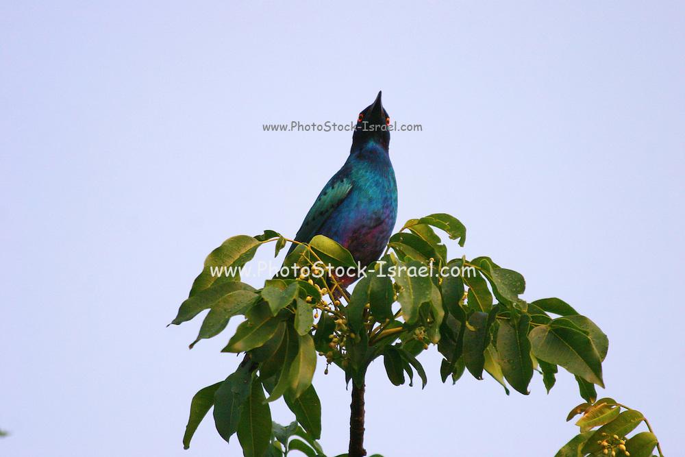 Kenya, Aberdare National Park, Kenya, Greater Blue-eared Starling Lamprotornis chalybaeus,