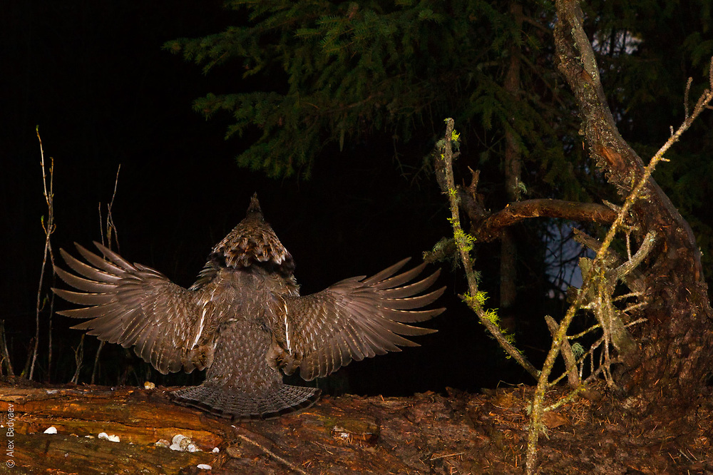 THE FOREST SYMPHONY ORCHESTRA   Ruffed grouse (Bonasa umbellus), in drumming display, conducts a pre-dawn forest symphony.<br /> <br /> 2hrs before sunrise, April