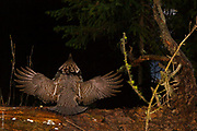 THE FOREST SYMPHONY ORCHESTRA | Ruffed grouse (Bonasa umbellus), in drumming display, conducts a pre-dawn forest symphony.<br /> <br /> 2hrs before sunrise, April