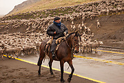 Gaucho on horseback herds flock of 3000 sheep along road en route Parque Nacional Torres del Paine , Patagonia, Chile.