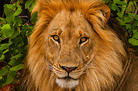 A male lion in the  Linyanti Marshes, Botswana.