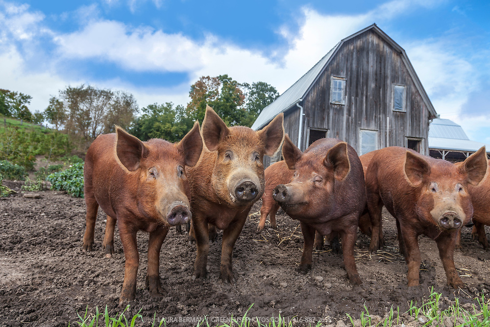 Tamworth pigs in their barnyard. Tamworths are among the oldest of pig breeds. They are ginger to red in color and are thought to have descended from wild boars, via native pig stock of Europe.  Alternate names for this animal are Sandy Back and Tam.