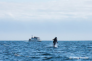 southern resident orca, or killer whale, Orcinus orca, breaches off southern Vancouver Island, British Columbia, Strait of Juan de Fuca, Canada, with whale watching boat in the background