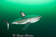 salmon shark, Lamna ditropis, female with mating scar on side and copepod parasites streaming from fins, Port Fidalgo, Prince William Sound, Alaska, U.S.A.; this apex predator, sometimes called the Pacific porbeagle, is a mackerel shark in the order Lamniformes; it swims in cold water, but is warm-blooded ( homeothermic )