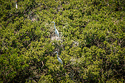 A great white heron (Ardea herodias) nesting in red mangrove in the northern key islands of Biscayne Bay National Park, Florida. Phoographed from the air during National Park Service bird survey.