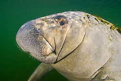Florida manatee calf, Trichechus manatus latirostris, endangered, a subspecies of the West Indian manatee, Kings Bay, Crystal River, Florida