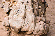 Ancient, gnawed tree trunk in the imperial garden in the Forbidden City, Beijing, China