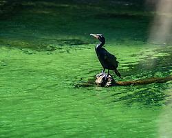 Cormorant enjoying the sun, Blue Springs State Park, Florida. Image taken by Joy Aldridge with a NIKON Z 6_2 and NIKKOR Z 70-200mm f/2.8 VR S Z TC-2.0x at 400mm, ISO 500, f5.6, 1/640.
