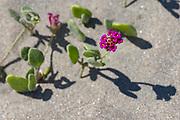 Sand verbena, February, Coyote  Beach, San Juanico, Baja, Mexico