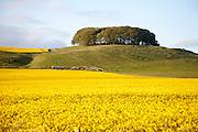 Furze Knoll copse of trees on Morgan's Hill, chalk downland, near Devizes, Wiltshire, England,