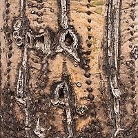 Saguaro National Park, Tucson. scars on a damaged Saguaro Plant